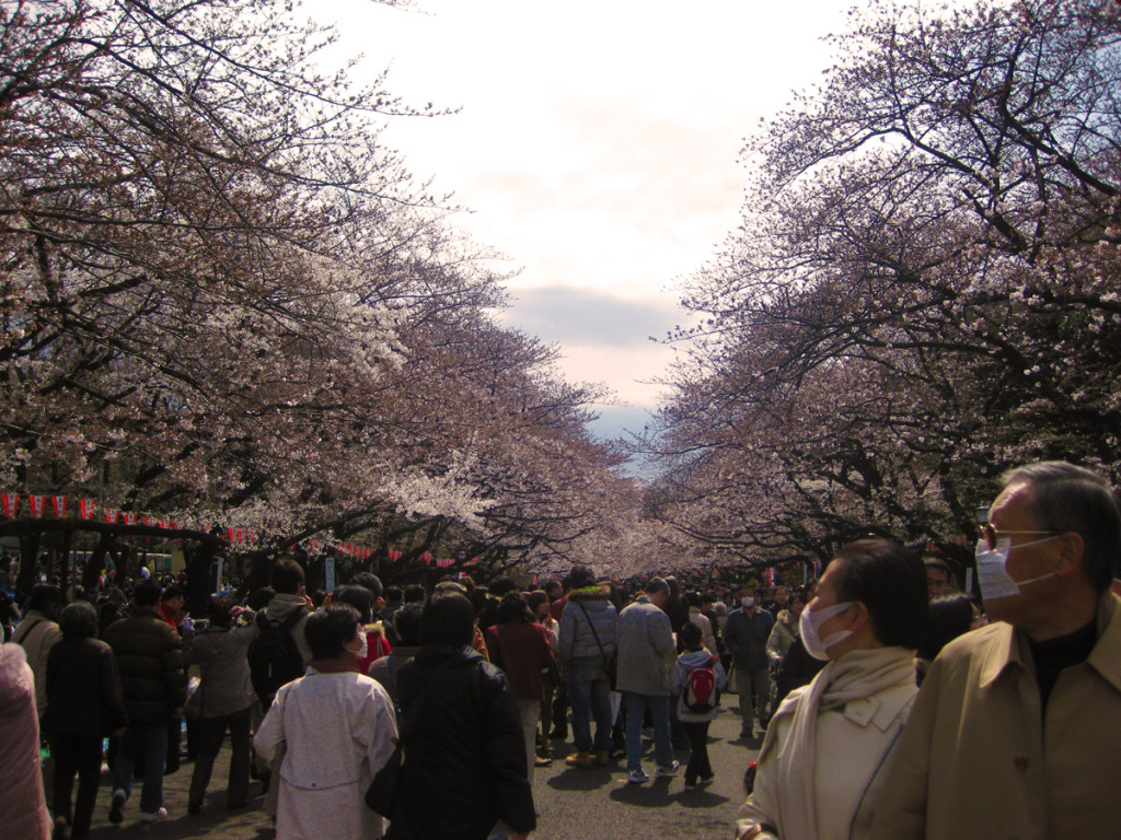 All of the Sakura in Ueno