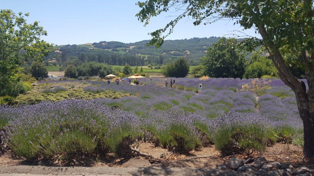 Mastanzas Lavender