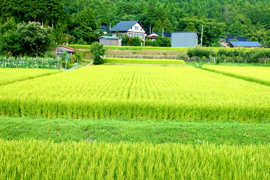 Niigata_ricefield1
