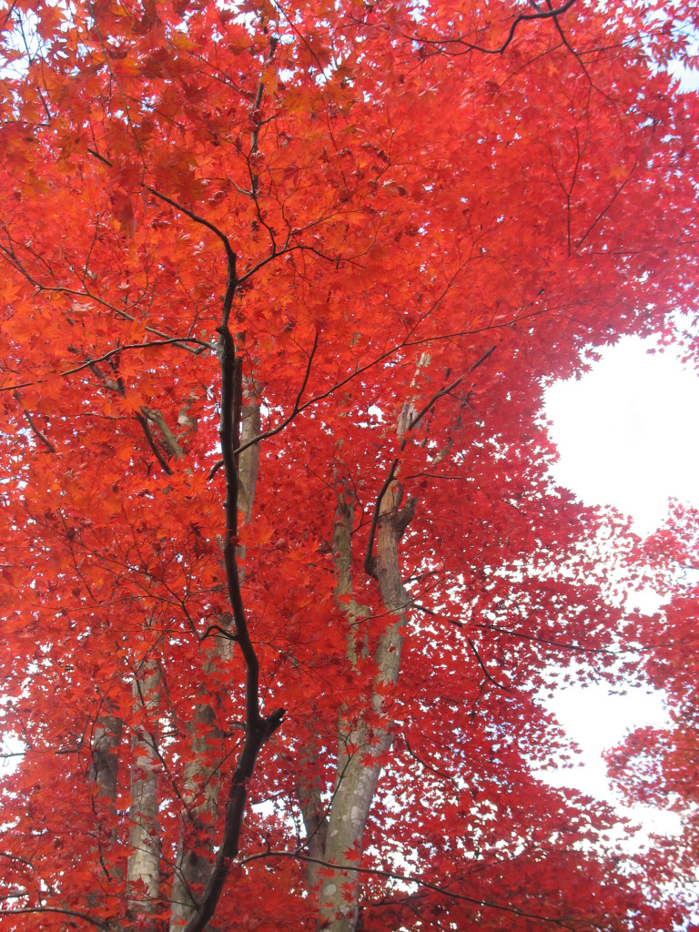 Didn't think trees could turn this red, right?