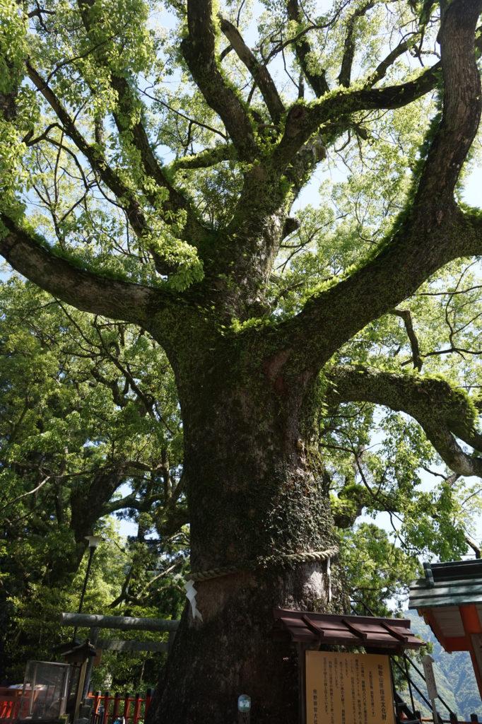 kumanooldtree